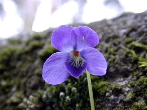imagenes de flores llamadas violetas fotos de flores
