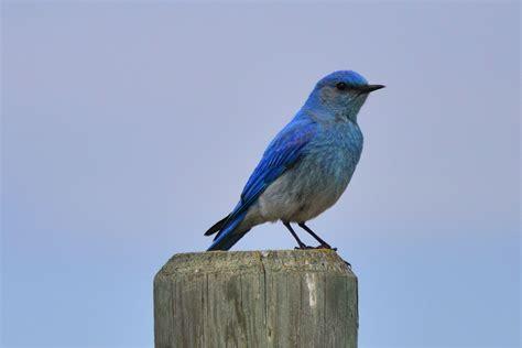 image gallery mountain bluebird male