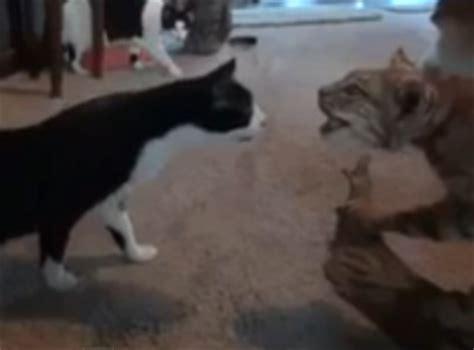 bobcat vs domestic cat images bobcat vs house cats bobcat wins and i don t mean