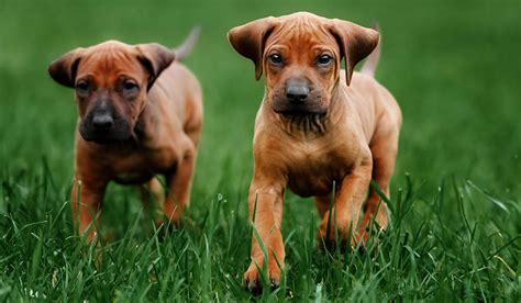 inbred puppies inbreeding dogs the about purebred puppies the happy puppy site