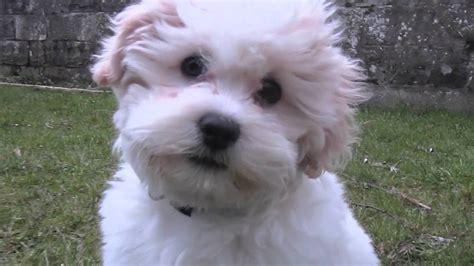 bijon frise puppy bijon frise shih tzu puppy