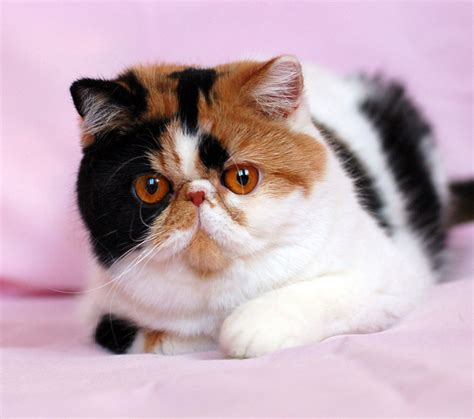 New Wcf One Ryugu Kingdom 2 Zorro shorthair cats kittens sold kittens of cattery ruslana