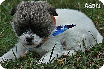 shih tzu breeders in maine shih tzu chihuahua mix puppies adopted puppy kittery me shih tzu chihuahua mix