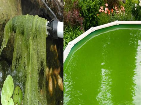image gallery koi pond algae treatment