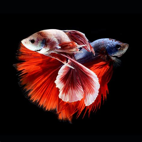animates betta design aquarium mono hypnotizing portraits of siamese fighting fish by visarute