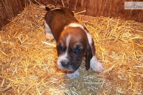 basset hound puppies virginia basset hound puppy for sale near morgantown west virginia 5053e886 07d1
