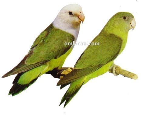 Wp Lovebird Bertelur Breding Obat Burung galeri 45 gambar lovebird perbedaan antara lutino a fischeri dan a lilianae klub burung
