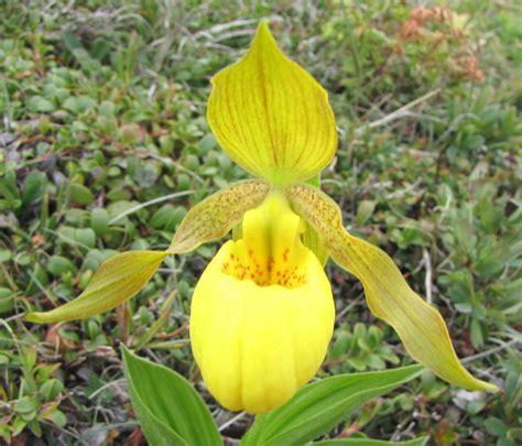 yellow slipper flower file yellow s slipper port aux choix nl jpg