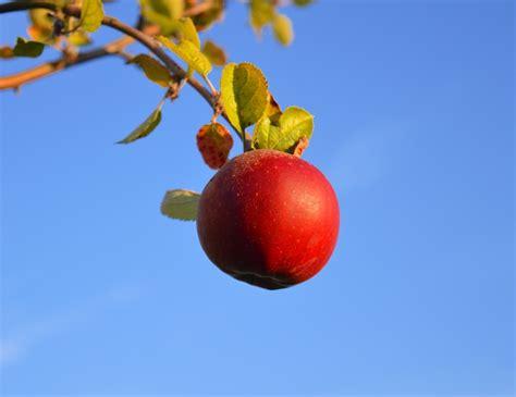 wann sind äpfel reif zum pflücken wann sind 196 pfel reif die richtige ernte tipps