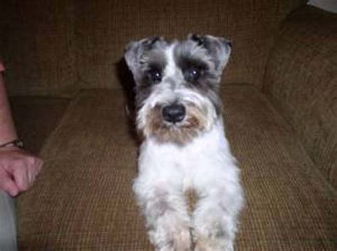shih tzu cross schnauzer schnauzer shihtzu mix breeds picture