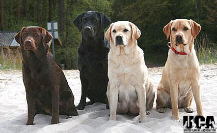 labrador colors labrador retriever breed information and pictures united