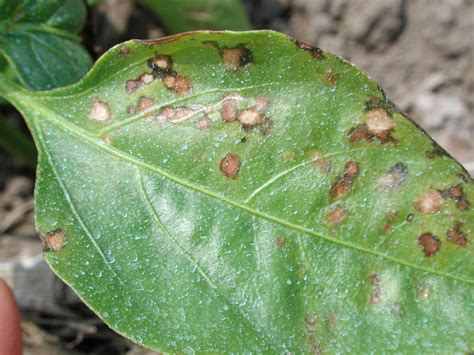 microbial diseases in plants plant bacterial diseases symptoms