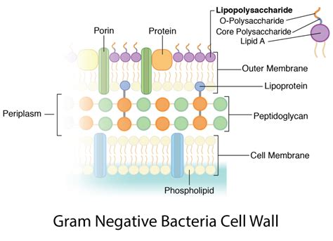 bacteria cell walls microbiology