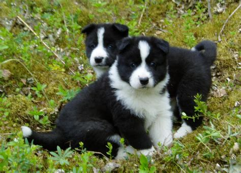 of puppies karelian dogs bearunoff kennels