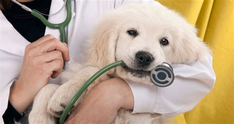 how to keep a golden puppy away from the xmas tree when to call the vet for your golden retriever