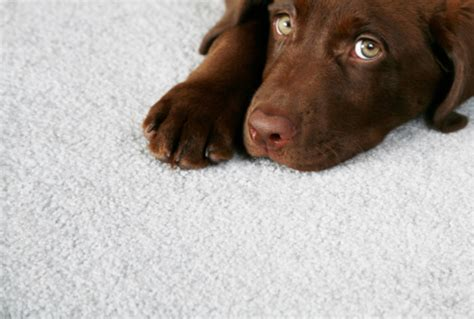 puppy on carpet carpet cleaner hinsdale carpet cleaning hinsdale il