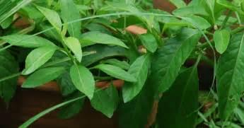 manfaat daun sambung nyawa sebagai obat manfaat