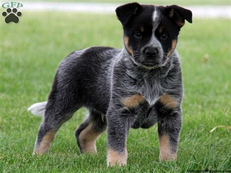 rottweiler heeler mix blue heeler mix puppy must cats dogs rottweiler and