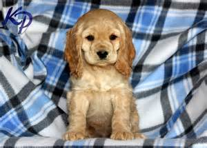 cocker spaniel puppies for sale in pa 17 best ideas about cocker spaniel for sale on spaniels for sale