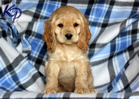 golden retriever cocker spaniel mix for sale 17 best ideas about cocker spaniel for sale on spaniels for sale