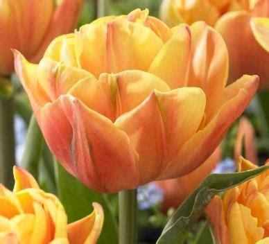 Ransel Tulip 3 In 1 tulip bulbs late freeman