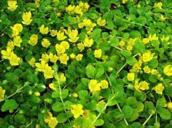 pianta dai fiori gialli lysimachia pianta dai fiori gialli e crescita vigorosa