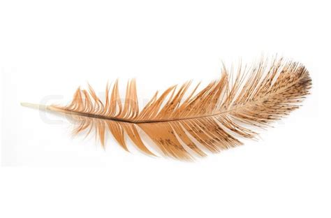 golden retriever feathers golden feather on a white background stock photo colourbox