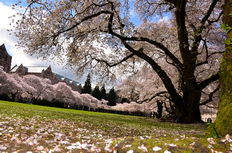 college trees the and science of the uw cherry blossoms uw college