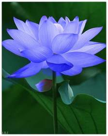 Lotus And Co Best 20 Blue Lotus Ideas On Blue Lotus Flower