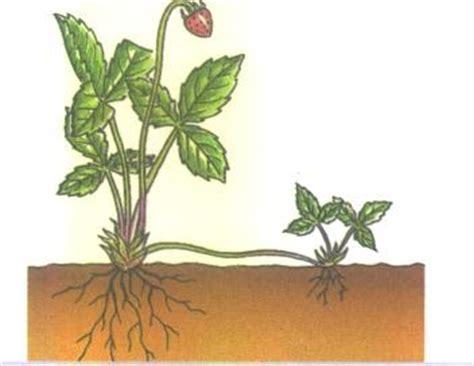 imagenes de flores que se reproducen asexualmente biologia reproducci 243 n asexual en las plantas