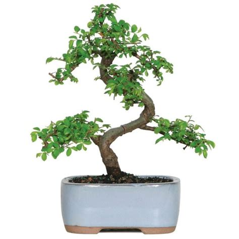 bonsai tree  buy   home  gift