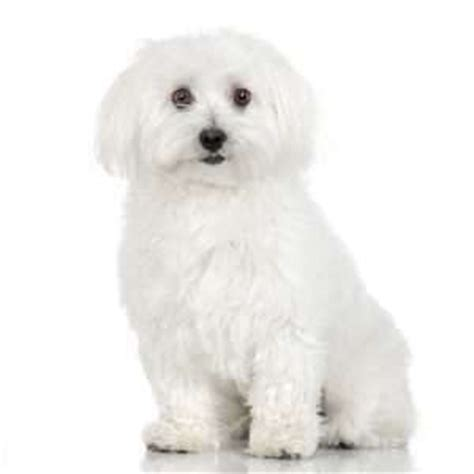 maltese puppies for sale in alabama maltese puppies for sale by top breeders pets4you