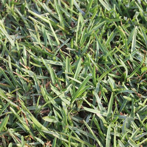 Grass Varieties by Buffalo Grass Stenotaphrum Secundatum Evangrass