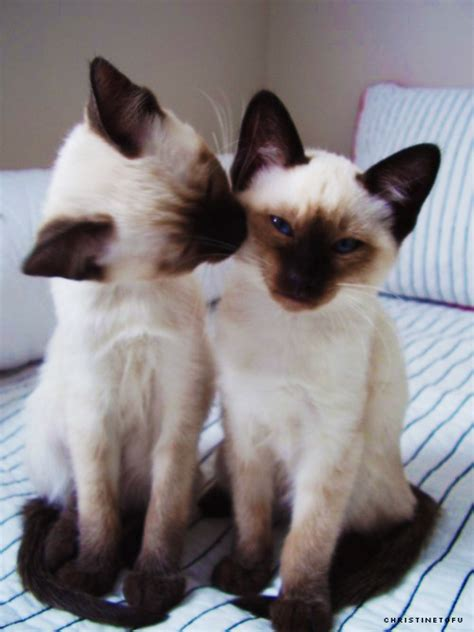 Siamese Cats images ? Siamese Cats ? wallpaper and
