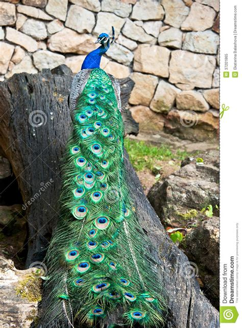 peacock tree peacock on a tree trunk royalty free stock photo image
