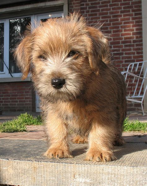 Do Norfolk Terriers Shed by Puppy 88 Pictures Information
