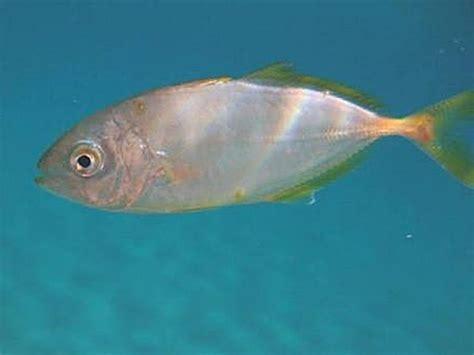 Ikan Selar 15 manfaat dan khasiat ikan selar bulat untuk kesehatan