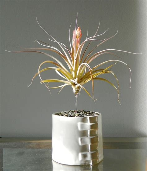 Apartment Therapy Air Plants Amazing Air Plants An With The Air Plant