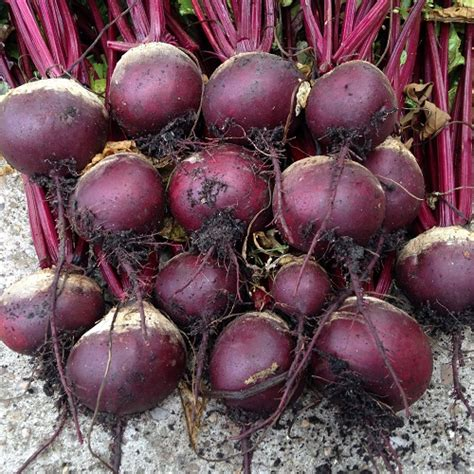 beetroot seeds boltardy