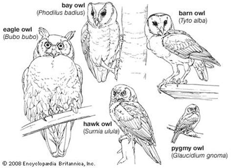 Part Pigeon Manual Corongbody barn owl digestive system diagram barn free engine image