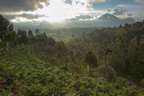 Kopi Arabika Malabar Mountain Kp3 plantation draft