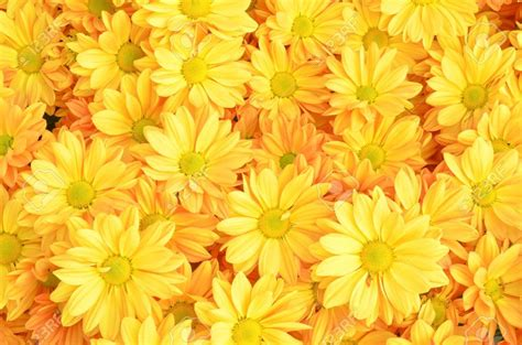 flower wallpaper zip yellow chrysanthemum flowers background stock photo