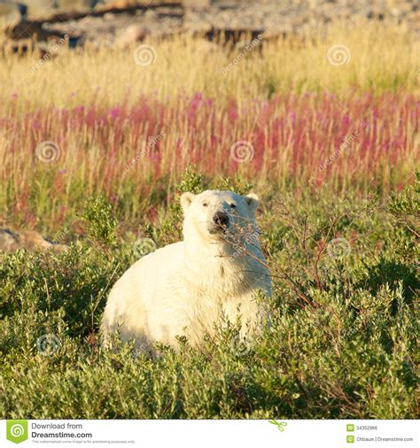 polar and fireweed 2 royalty free stock image image 34352966