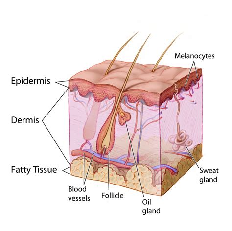 skin cross section diagram why do we get wrinkles by dr ed breazeale of the
