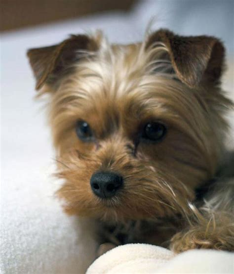 perros yorkie informacion perros terrier the knownledge