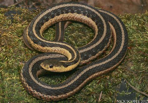 Garden Snake Or Garter Snake Eastern Garter Snake Flickr Photo