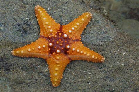 starfish images file starfish 02 paulshaffner jpg
