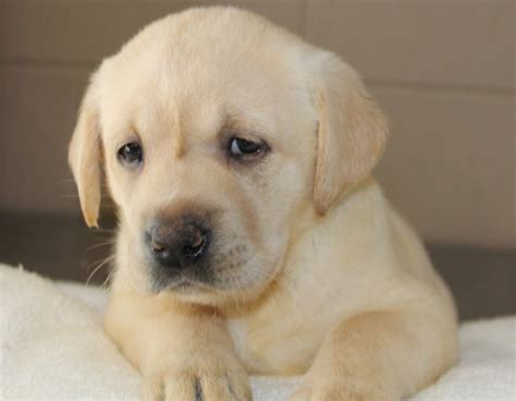 yellow lab puppies for sale oregon yellow lab puppies for sale and yellow lab puppy breeder