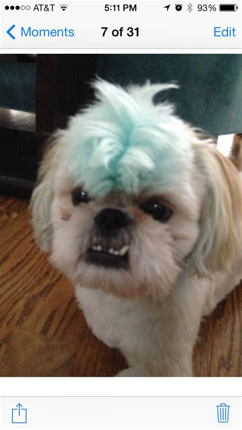shih tzu mohawk sam and the mohawk oh shih tzu mohawks the o jays and the mohawk
