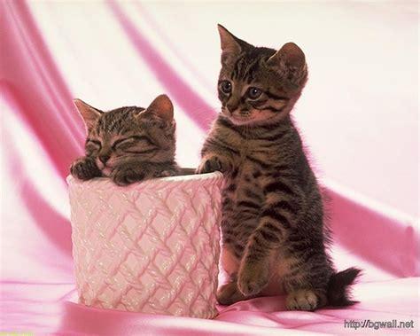 cute couple kitten cat wallpaper widescreen hd